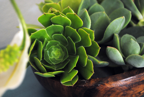 close up succulents in wooden bowl
