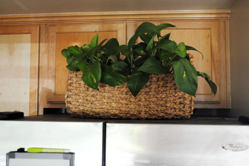 pothos on top of fridge