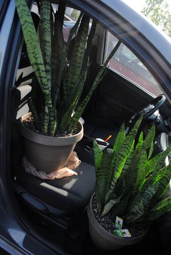 sansevieria in car
